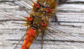 Dragonfly detail Royalty Free Stock Image