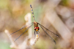 Dragonfly detail Royalty Free Stock Photography