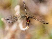 Dragonfly detail Stock Photography