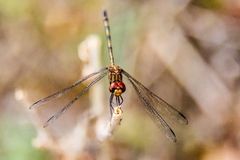 Dragonfly detail Royalty Free Stock Photo