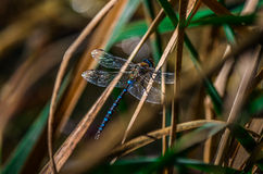A dragonfly in detail. A detail shot of a dragonfly landed Stock Images