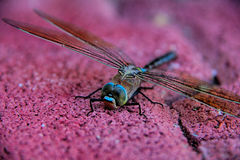 Dragonfly. Detailed macro image of dragonfly on purple wall Royalty Free Stock Photos