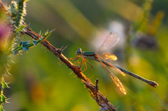 Dragonfly insect Royalty Free Stock Image