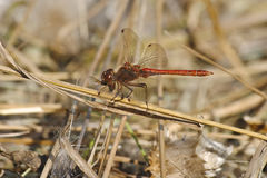 Dragonfly Devouring Its Prey. Dragonfly devouring its prei (another insect Royalty Free Stock Images