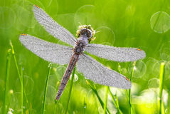 Dragonfly with dew drops Stock Images