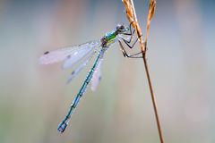 dragonfly in dew drops on a meadow Royalty Free Stock Photography