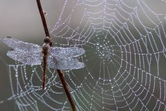 Dragonfly, Dew, Spider Web, Morning Stock Photography
