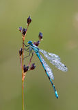 Dragonfly dew-sprinkled (Coenagrion puella) Stock Image