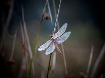 Dragonfly with dewdrops Royalty Free Stock Images