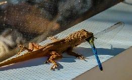 Dragonfly dla śniadania zdjęcia royalty free