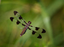 Dragonfly. A dragon flying in flight at zoo Stock Image