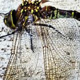 Dragonfly. The dragon's wings Royalty Free Stock Photography