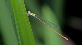 Dragonfly, Dragonflies Таиланда Aciagrion pallidum Стоковое Фото