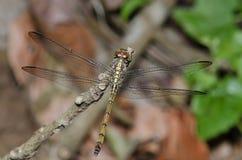 Dragonfly, Dragonflies Таиланда Lathriacista asiatica стоковое изображение