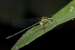 Dragonfly, Dragonflies atrocyana Таиланда Onychargia Стоковые Фото