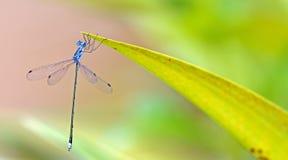 Dragonfly, Dragonflies elatus Таиланда Lestes Стоковая Фотография