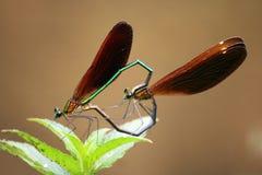 Dragonfly. Dragonflies, invertebrates, arthropods, Insecta, winged suborder, dragonflies, winged suborder, subfamily of the family dragonflies and dragonflies stock photos