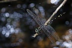 Dragonfly, Dragonflies kruegeri kruegeri Таиланда Gomphidia стоковое фото rf