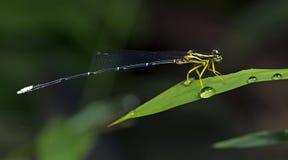 Dragonfly, Dragonflies marginipes Таиланда Copera Стоковые Изображения RF