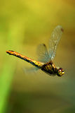 Dragonfly. Stock Photography