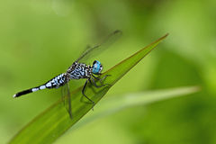 Dragonfly, Dragonflies panorpoides Таиланда Acisoma Стоковые Изображения RF