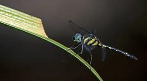 Dragonfly, Dragonflies platyptera Таиланда Tetrathemis Стоковые Фото