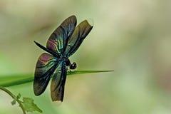 Dragonfly, Dragonflies plutonia Таиланда Rhyothemis стоковые фотографии rf
