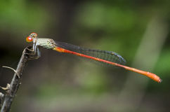 Dragonfly, Dragonflies praetermissum Таиланда Ceriagrion стоковое фото rf