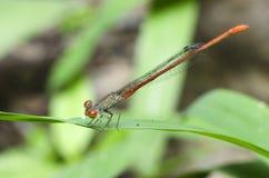 Dragonfly, Dragonflies praetermissum Таиланда Ceriagrion Стоковые Фотографии RF