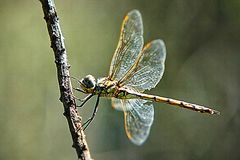 Dragonfly. Dragonflies are predators, both in their aquatic larval stage, when they are known as nymphs or naiads, and as adults. Several years of their lives Stock Photo