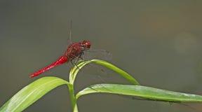 Dragonfly, Dragonflies rufa Таиланда Rhodothemis стоковое изображение