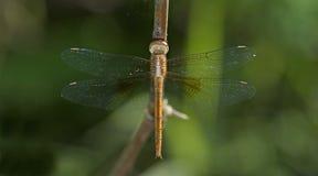 Dragonfly, Dragonflies Tajlandia Tholymis tillarga obrazy royalty free