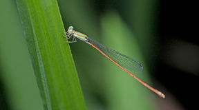 Dragonfly, Dragonflies of Thailand Aciagrion pallidum. Dragonfly rest on green grass leaf stock photo