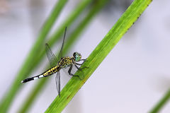 Dragonfly, Dragonflies of Thailand Acisoma panorpoides. Dragonfly rest on green leaf royalty free stock images