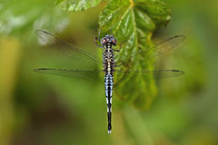 Dragonfly, Dragonflies of Thailand Acisoma panorpoides. Dragonfly rest on green leaf stock photography
