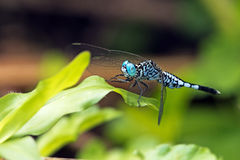 Dragonfly, Dragonflies of Thailand Acisoma panorpoides. Dragonfly rest on green leaf stock photos