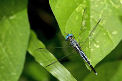 Dragonfly, Dragonflies of Thailand Acisoma panorpoides. Dragonfly rest on green leaf stock photo
