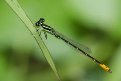Dragonfly, Dragonflies of Thailand Agriocnemis minima. Dragonfly rest on green grass leaf stock photography