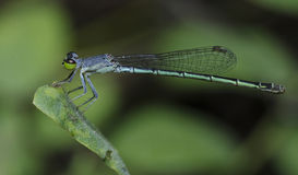 Dragonfly, Dragonflies of Thailand Agriocnemis minima. Dragonfly rest on green grass leaf royalty free stock photo
