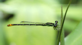 Dragonfly, Dragonflies of Thailand Agriocnemis minima. Dragonfly rest on green grass leaf royalty free stock photography
