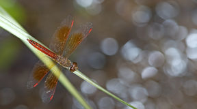 Dragonfly, Dragonflies of Thailand Brachythemis contaminata. Dragonfly rest on the grass stock image