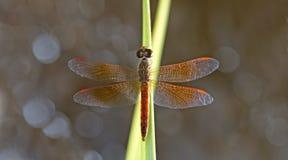Dragonfly, Dragonflies of Thailand Brachythemis contaminata. Dragonfly rest on the grass royalty free stock photos