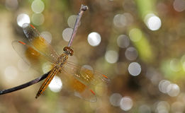 Dragonfly, Dragonflies of Thailand Brachythemis contaminata. Dragonfly rest on twigs royalty free stock photography