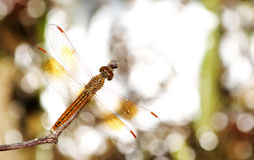 Dragonfly, Dragonflies of Thailand Brachythemis contaminata. Dragonfly rest on twigs royalty free stock images
