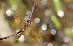 Dragonfly, Dragonflies of Thailand Brachythemis contaminata. Dragonfly rest on twigs stock photography