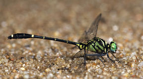 Dragonfly,Dragonflies of Thailand Burmagomphus divaricatus. Dragonfly, Dragonflies of Thailand Burmagomphus divaricatus , Dragonfly rest sand stock images