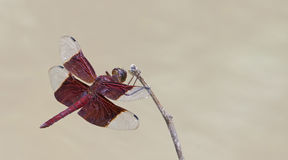 Dragonfly, Dragonflies of Thailand Camacinia gigantea. Dragonfly rest on twigs stock photography