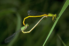 Dragonfly, Dragonflies of Thailand Ceriagrion indochinense. Dragonfly rest on green grass leaf royalty free stock image