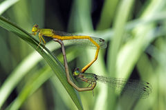 Dragonfly, Dragonflies of Thailand Ceriagrion indochinense. Dragonfly rest on green grass leaf royalty free stock images