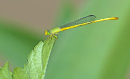 Dragonfly, Dragonflies of Thailand Ceriagrion indochinense. Dragonfly rest on green leaf royalty free stock photography
